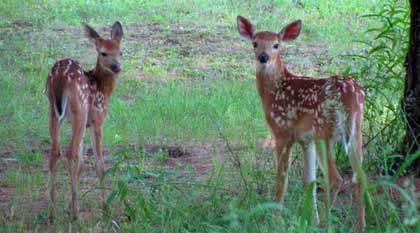 Fawns in the garden of one of the cottages at Bondi Village Resorts