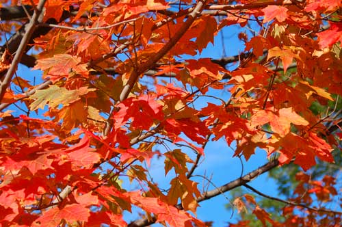 With high percentages of colour change, and low leaf fall, this is peek time for fall colors (colours).