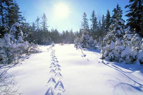 snowshoe tracks in the winter snow