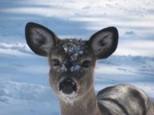 Bondi Village Deer